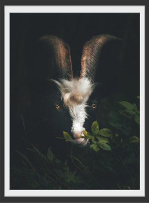 Plakat Goat