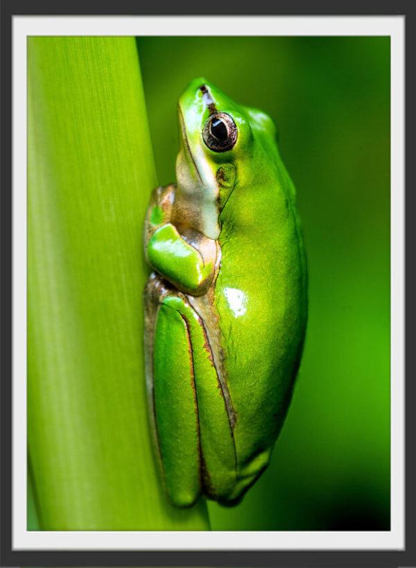 Plakat Green frog