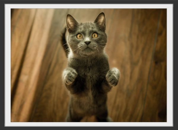 Plakat Grey cat