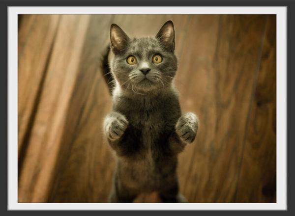 Plakat Grey cat