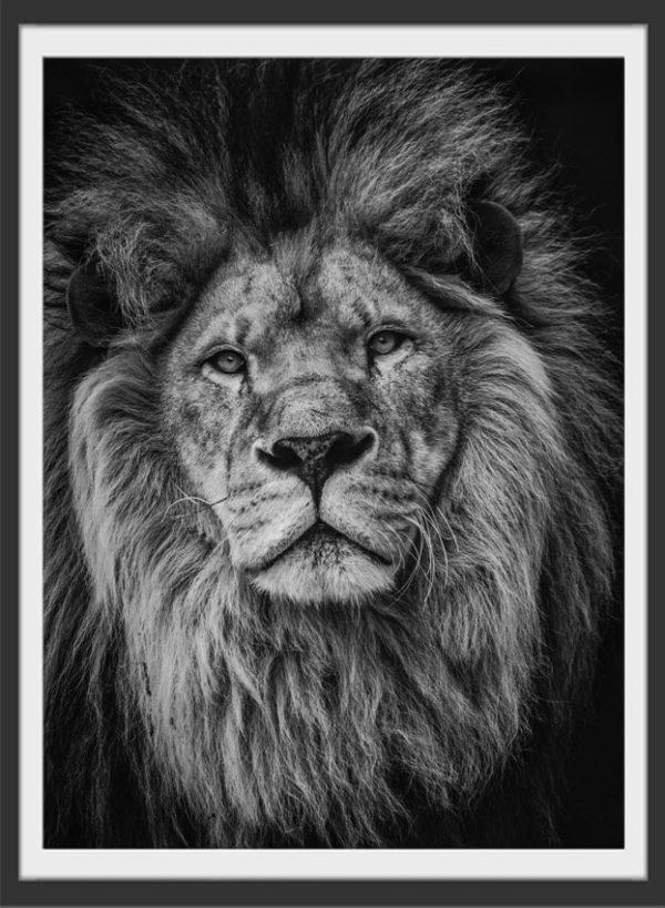 Plakat Lion