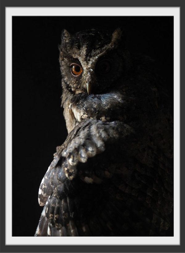 Plakat Owl