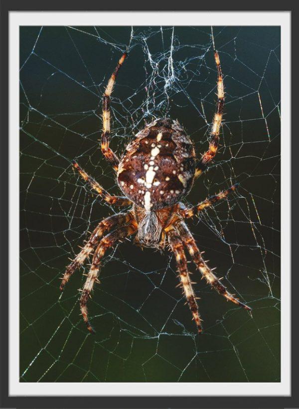 Plakat Spider
