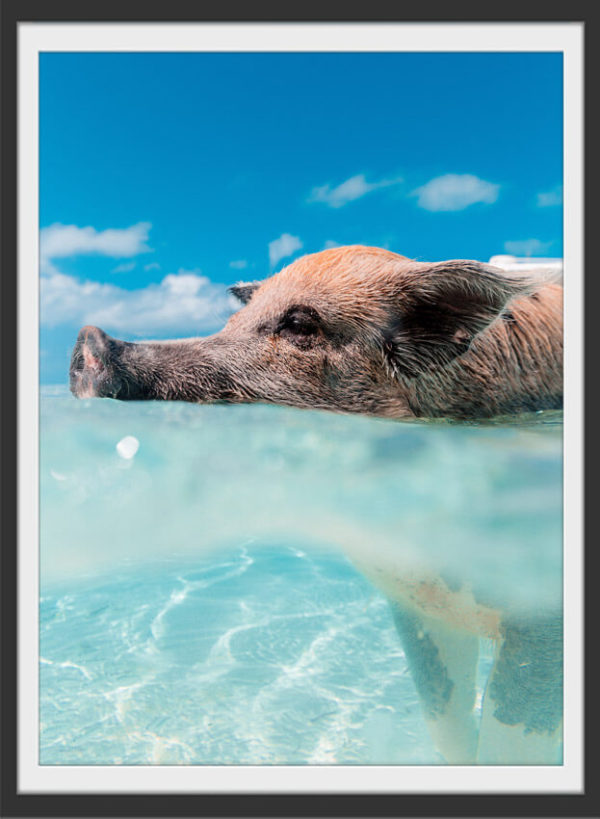 Plakat Swimming pig