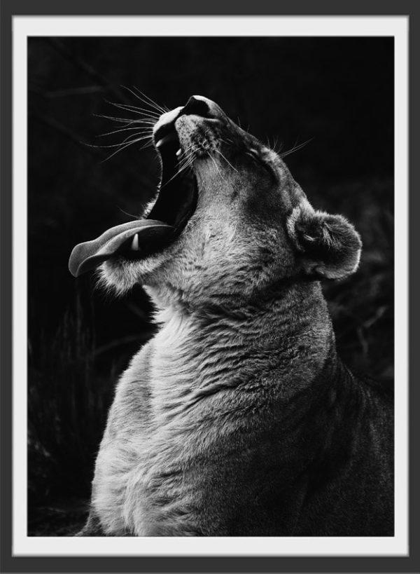 Plakat Yawning lion