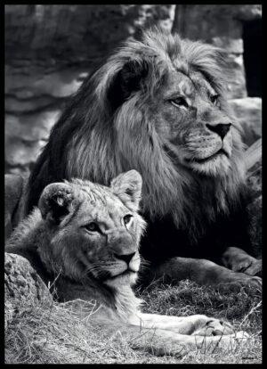 Løveparret fotoplakat