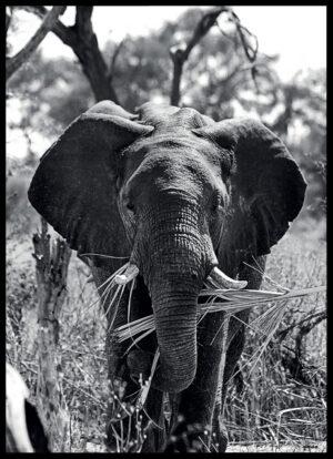 Elefanten fotoplakat