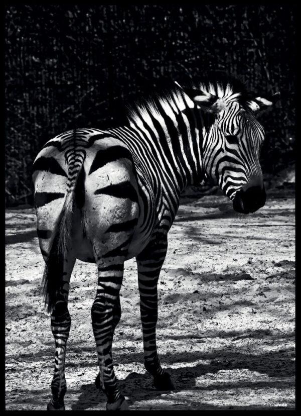 Zebraen fotoplakat